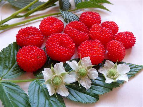 raspberry fruit tree daleys fruit tree october 2013