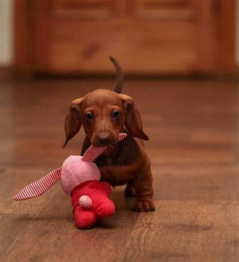 baby wiener dachshund dogs dachshund dachshund puppies and puppys