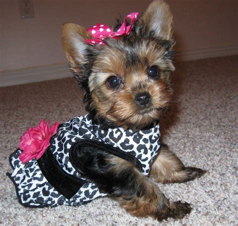 hair accessories for yorkie poos yorkiepoo yorkshire terrier poodle mix info temperament