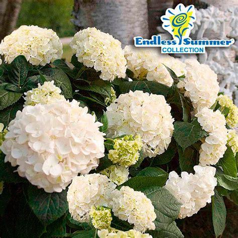 garten pflanzen shop garten hortensie endless summer 174 the kaufen