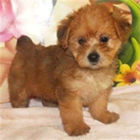 how to become a yorkie breeder yorkie poo puppies images awwwww adorable photo 24813722