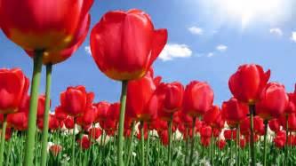 Bonita Flower Shop - sfondo quot tulipani rossi quot 1920 x 1080 natura fiori