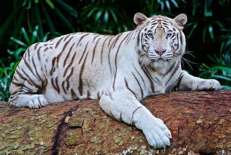Tiger White white tiger