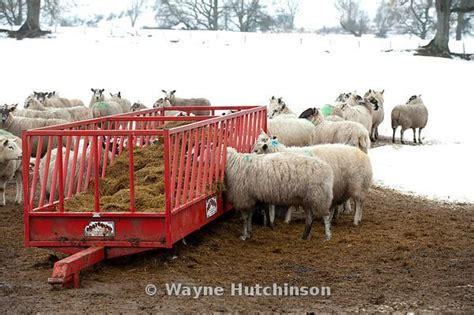 Sheep Silage Feeders wayne hutchinson photography sheep silage out of a feed trailer northumberland