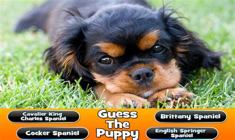 guess the breed guess the puppy breed trivia android apps on play