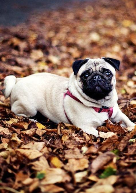 pug in leaves 25 best ideas about pug on pugs pug puppies and a pug