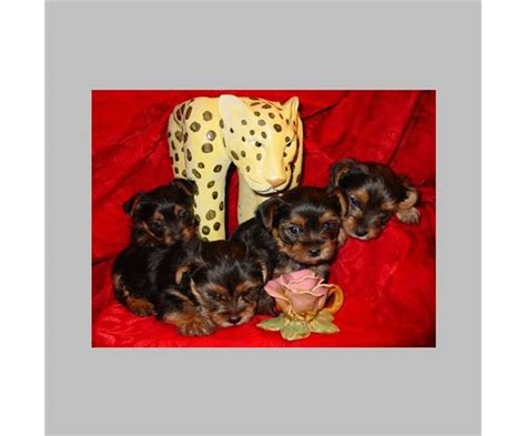 silicone puppies for sale teacup yorkie puppies for sale in roodepoort gp