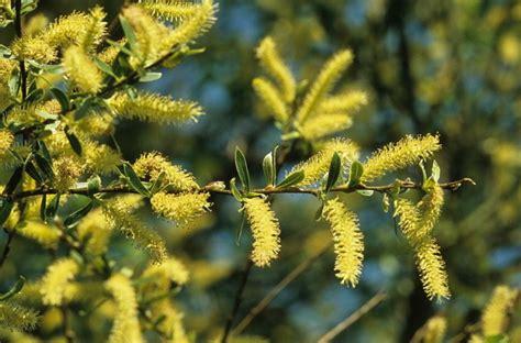 treurwilg mannelijke bloem drachtplanten schietwilg salix alba
