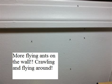 ants in my room help how to get rid of flying ants winged ant bugs at invading my room bugging me