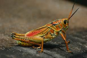 eastern lubber grasshopper florida eco travel guide
