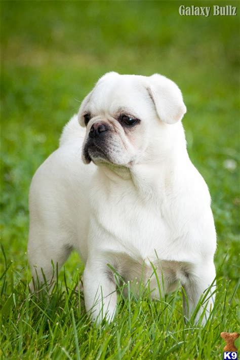 white pug price dogs for stud pug breeds picture