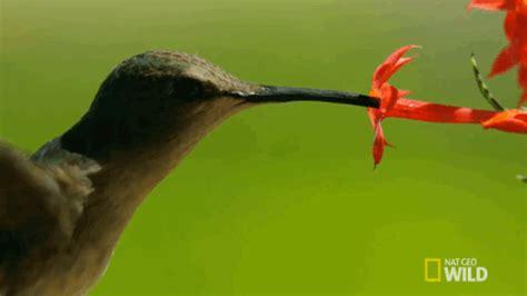 hummingbird yellowstone gif by nat geo wild find & share