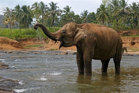 elephant biography in hindi indian elephants are an important cultural icon in india