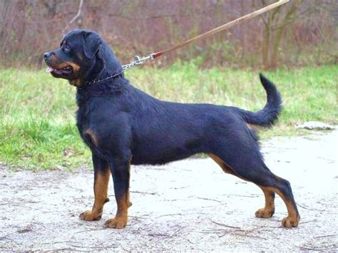 rottweiler breeders in michigan golden valley chion rottweilers rottweiler breeder almont michigan