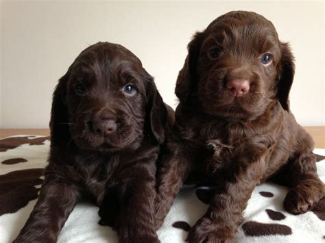 cocker spaniel breeders chocolate cocker spaniel puppies swadlincote derbyshire pets4homes