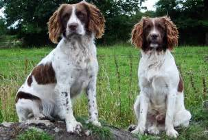 Welsh springer spaniel dog breed standards