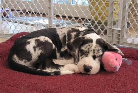 great dane puppies oregon great dane puppy archives bhaskerville great danes