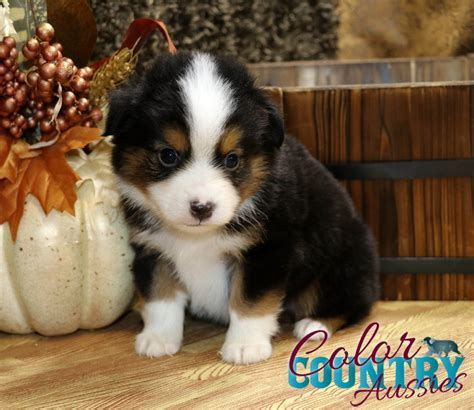 australian shepherd colors coat of many colors black tri 1 color country aussies