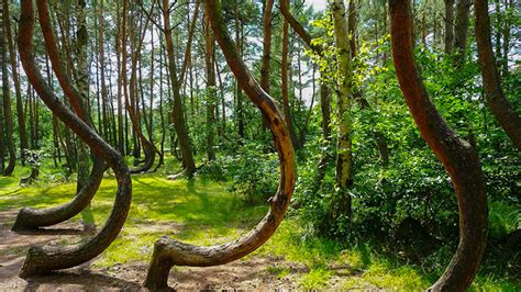 crooked forest in western poland mysterious facts the crooked forest is a strange grove of oddly bent trees
