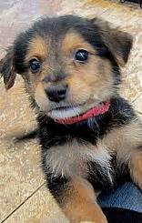 german shepherd poodle mix puppies german shepard n poopdle mix german poodle my future petz poodle pup