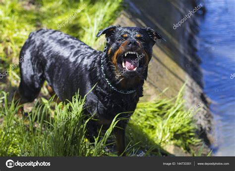 angry barking angry barking rottweiler stock photo 169 mlkvous 144733351