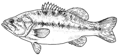 free coloring pages of largemouth bass