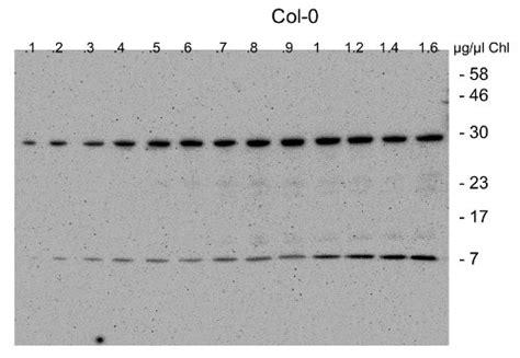 Blot Then Re Apply by Anti Cgl40 Antibody