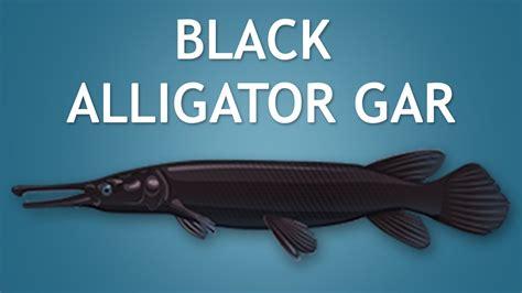 Alligator Black elltharis black alligator gar 5