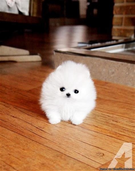 pomeranian puppies for sale chicago tiny pomeranian puppies for adoption for sale in chicago illinois classified