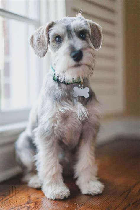 repinned schnauzer terrier grooming hairstyles miniature schnauzer cut russell con su placa de hueso
