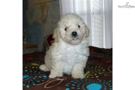 bichon poodle rescue indiana poochon puppies for sale ny breeds picture