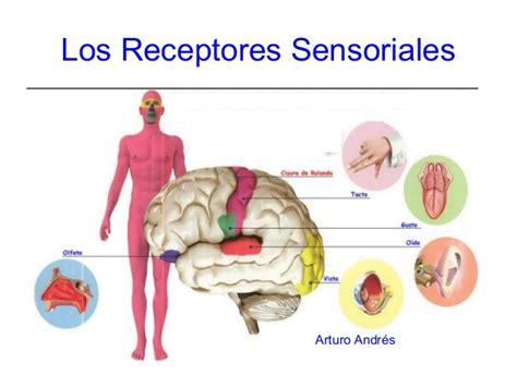 imagenes sensoriales significado y ejemplos los receptores sensoriales