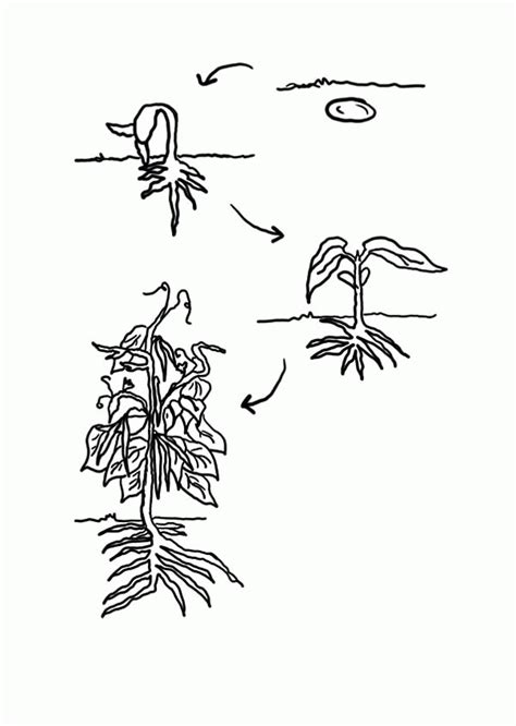 coloring pages of life cycle of pumpkin life cycle of a plant coloring page many interesting cliparts