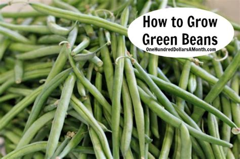 jade green beans related keywords jade green beans long tail keywords keywordsking