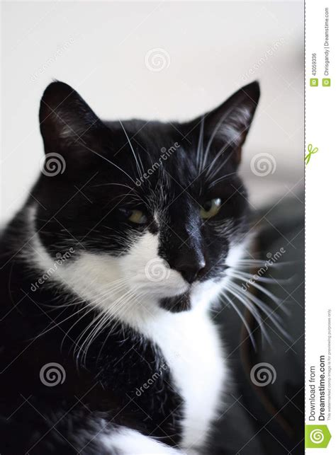 white pussy cat a very cute black and white short haired cat stock photo