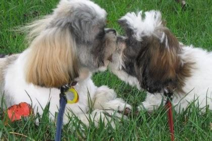 when do shih tzu puppies open their shih tzu city page 10 of 15 all about shih tzu