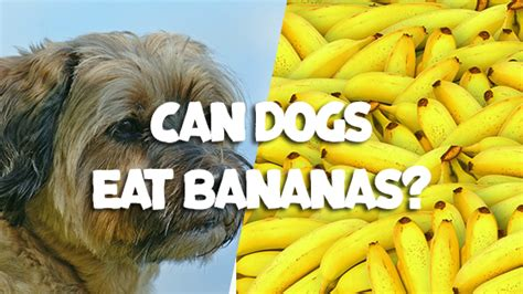 can you give dogs bananas can dogs eat bananas pet consider