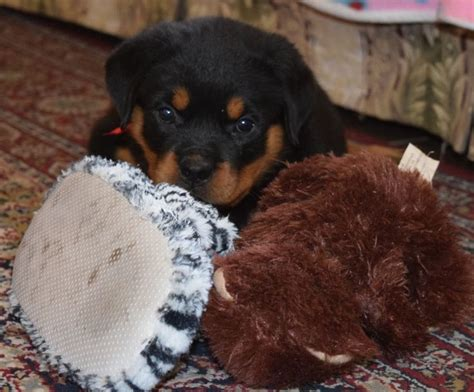 german rottweiler puppies for sale in ohio 25 best ideas about rottweiler puppies for sale on german rottweiler