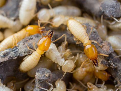 termite treatment phoenix termite company blue sky pest