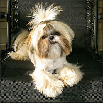 thicken shih tzu tails 1000 images about shih tzu on pinterest maltese pets