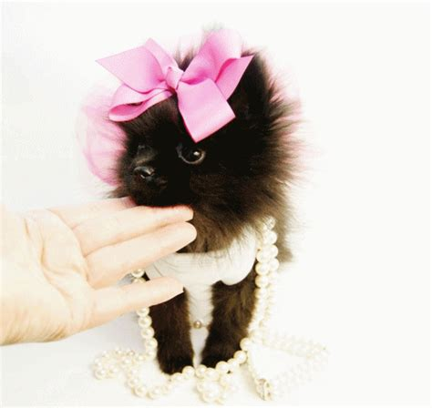 teacup pomeranian for sale in san antonio teacup pomeranian puppies for sale in houston