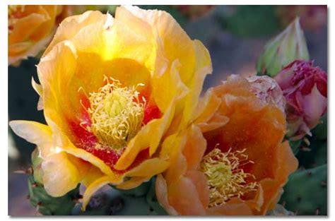 prickly pear cactus desertusa