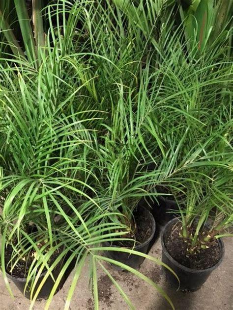 dwarf date palm  pot   plants garden supplies