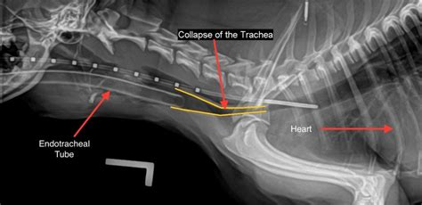 tracheal collapse in dogs tracheal collapse management versus implantable stents
