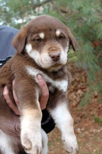 husky lab mix puppies 25 best ideas about husky lab mixes on labrador husky labrador mix and
