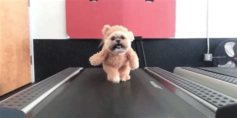 shih tzu fever munchkin the shih tzu s treadmill walk gets a saturday fever soundtrack and