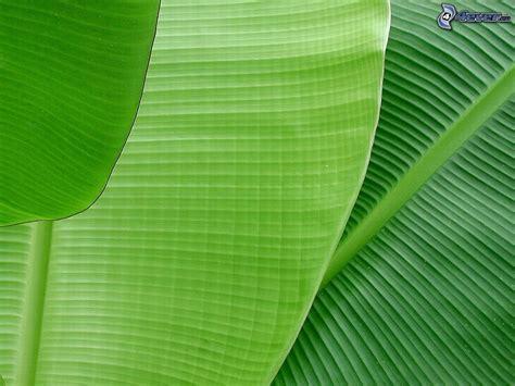 banana tree wallpaper download wallpaper hd banana leaf in sea mega wallpapers