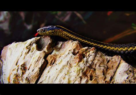 Garden Snake Tennessee Garden Snake Photograph By Tennessee Walker