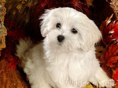 white maltese puppy 1920 1200 white maltese puppy wallpaper 17 wallcoo net