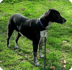 pointer rottweiler mix 1000 images about gsp on german shorthaired pointer lab mixes and pointers